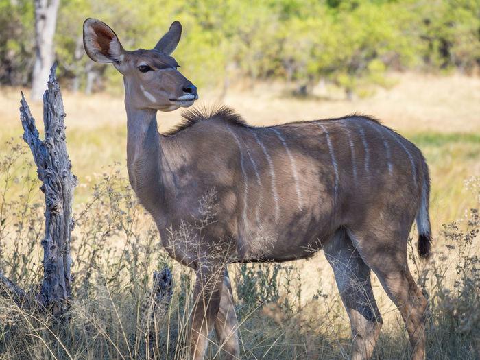 Portrait of female greater kudu antelope standing in savannah, moremi game reserve, botswana, africa