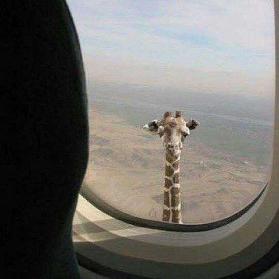 Funny Animals Giraffe Plane Africacontinentboard