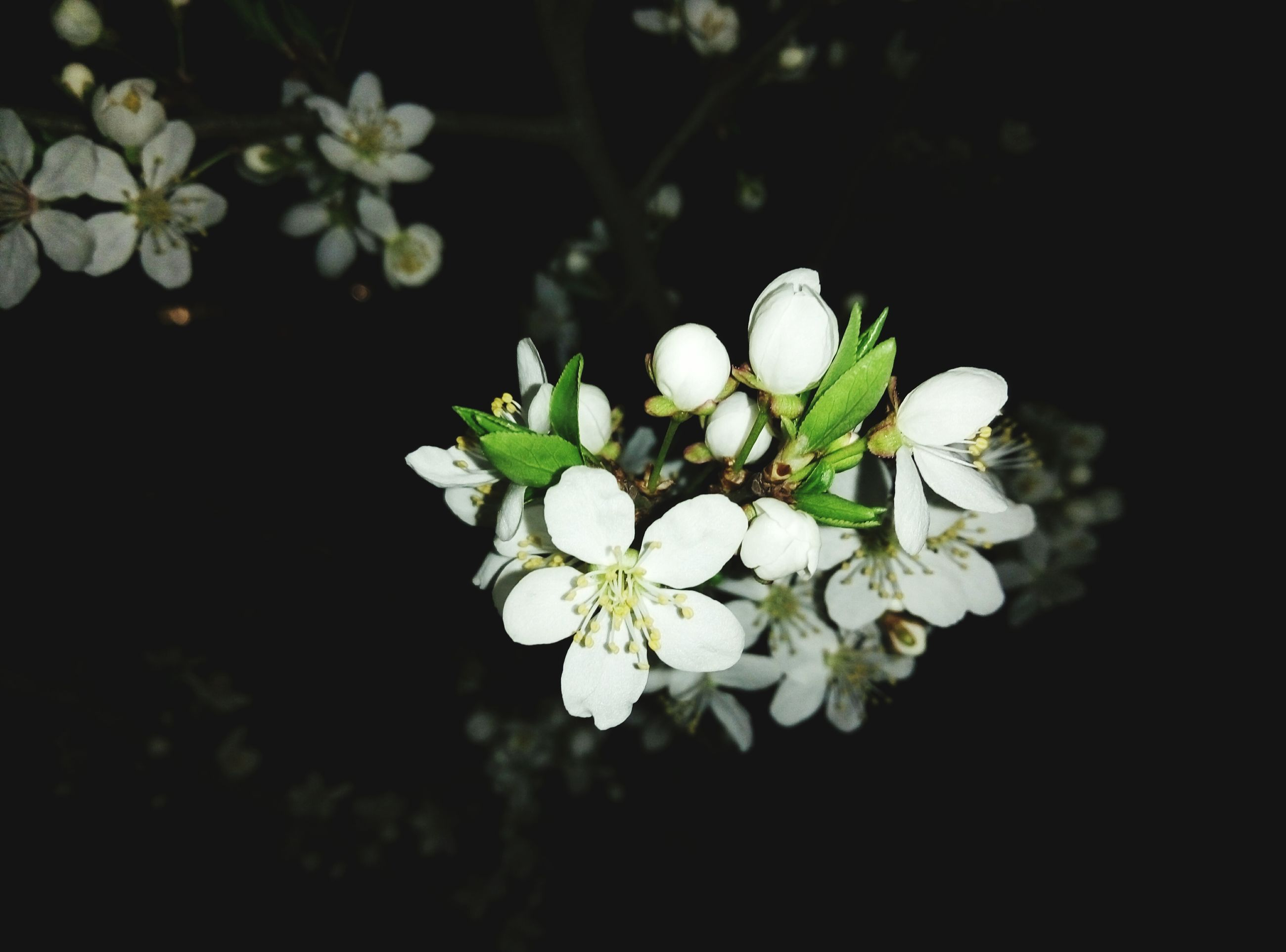 flower, white color, freshness, fragility, petal, growth, flower head, beauty in nature, close-up, nature, blossom, white, blooming, focus on foreground, in bloom, plant, botany, stamen, stem, springtime