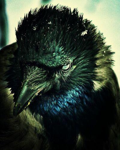 Crow Raven Bird Things That Are Green Enjoy folks!