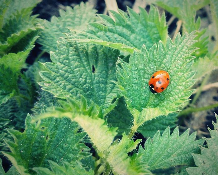 Summer is officially here. Ladybug Blackdot Naturelovers Nature Nature Photography Greenplants Focus Plants And Flowers Leaves🌿 Greenleaves Mothernature Shadesofgreen PhonePhotography Bug Depth Of Field