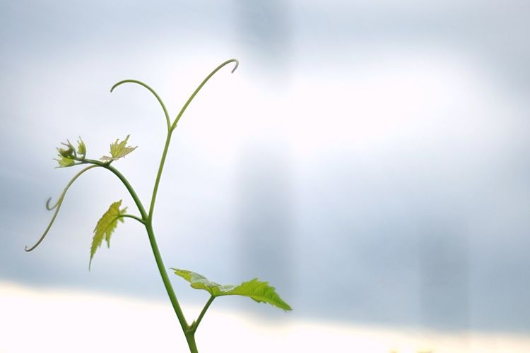 Growth Plant Close-up Nature Fragility No People Leaf Focus On Foreground Freshness Green Color Day Beauty In Nature Outdoors Flower EyeEm Landscape Silhouette_collection Light And Shadow Beauty In Nature Nature Sky Silhouette Japan 山梨 勝沼