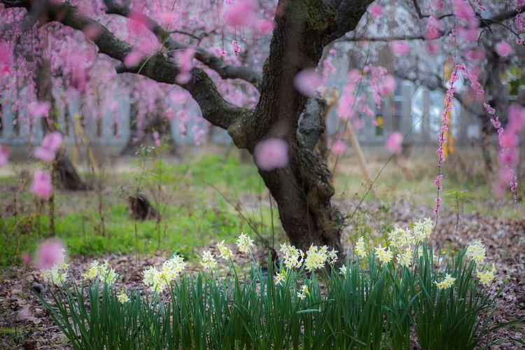 しだれ梅と水仙2 Plum Blossom Plum Spring OSAKA Japan Japan Photography Flower Head Flower Tree Springtime Rural Scene Grass Close-up Landscape Blossom