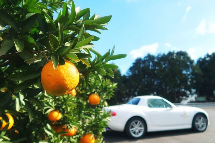 EyeEm EyeEm Nature Lover Mazda Mx5 Miata Roadster Fruit Orange Orange Color オレンジ オレンジ色 空 青空 フルーツ みかん 畑 みかん畑 マツダ ロードスター Car Tree Citrus Fruit Healthy Eating Fruit Sky Leaf Freshness Nature Plant Food