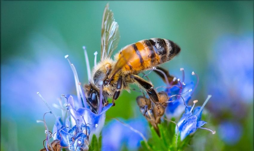 Close-up of honey bee pollinating on blue flowers