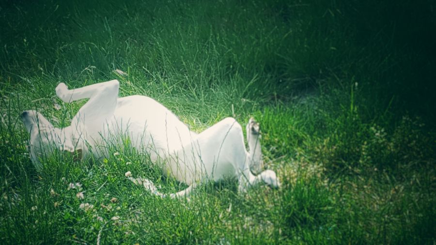 Puppy found a spot in the grass that smelled really good, so she rolled around in it for a bit. (C) Kimberly J Tilley.