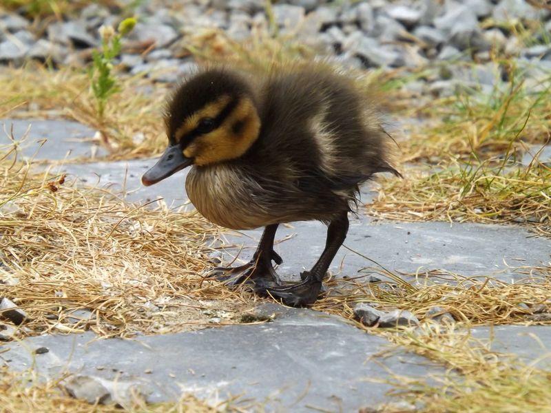 Exploring the world :) Duck Duckling Ducklings Animal Exploring Bird Nature Adventure Animal_collection Bird Photography