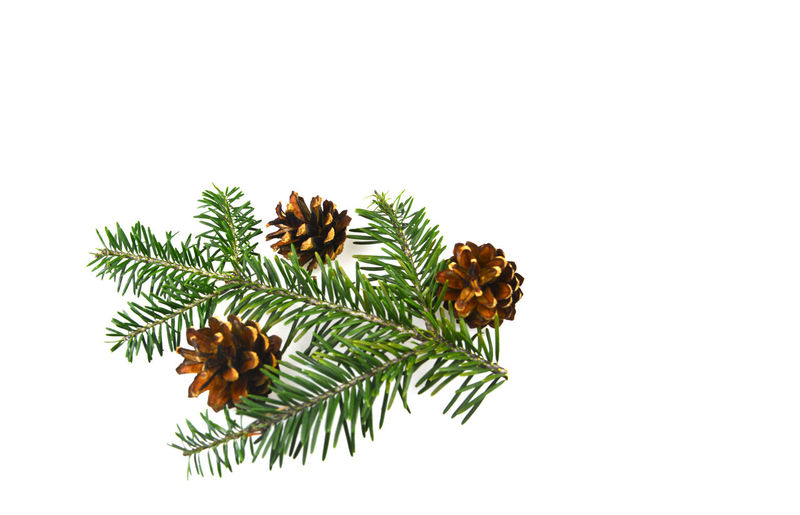 Close-up of pine tree against white background