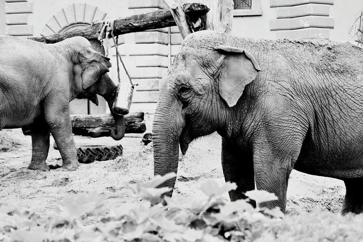 Elephant Zoo Zoo Animals  African Elephant Animal Trunk Elephant Safari Animals Animal Family