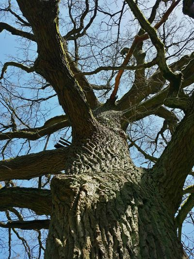Baumstamm Baumrinde Looking Up A Tree Eichenstamm äste Zweige Trunk Detail Light And Shadow Trunk Branch Of A Tree Branches Of Trees Ladyphotographerofthemonth German Oak Oak Tree Ancient Oak Sodeiche (sod = quelle), Trunks Showcase : April Trees Collection Hugging Trees Beliebte Fotos Popular Photos Tree Trunk Blue Sky And Branches Nature's Diversities