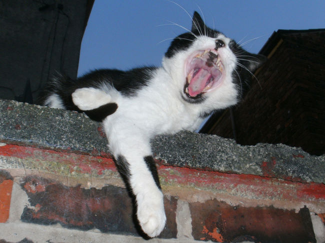 Animal Themes Black And White Cat Close-up Domestic Cat Feline Outside Pets Relaxing Yawning Yawning Cat