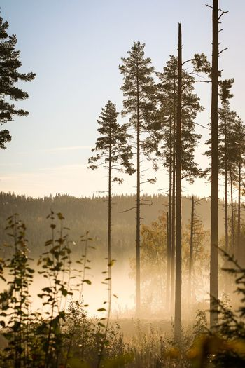 Dalarna Sunrise Morning Dimma Fog Forest Skog Grängesberg Sverige Sweden Höst Fall Autumn Canon 70d Canon Canon 100mm Dalarna Nature Photography Flowers,Plants & Garden Flowers, Nature And Beauty Nature Landscape Tree Sky Plant Tranquility Beauty In Nature Nature Tranquil Scene