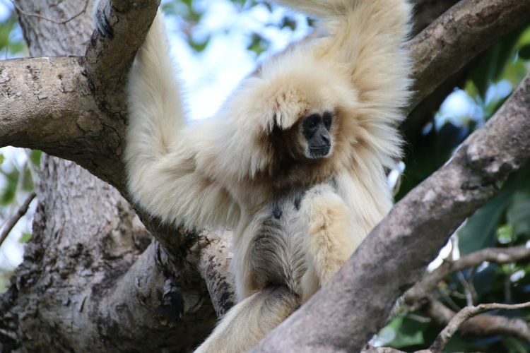 Low angle view of white langur on tree branch