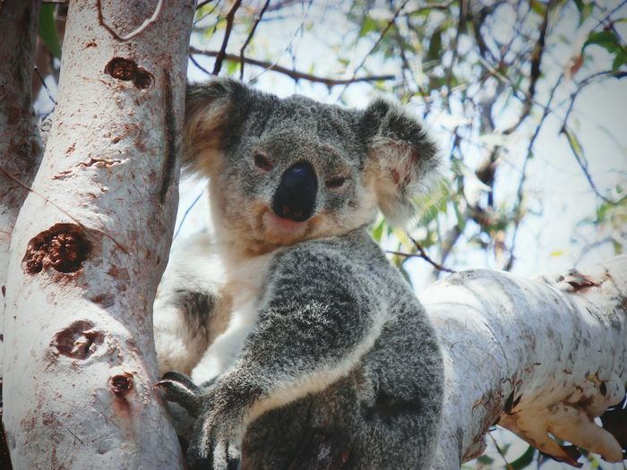 Portrait of koala sitting on branch