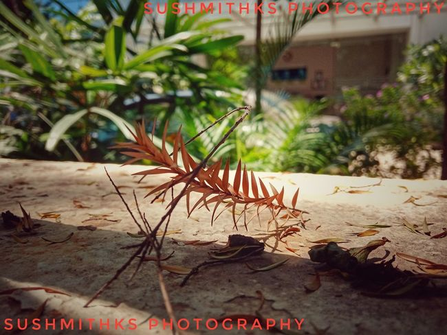Sushmithks Drygrass Lenovok8plus Hobby Mobileclick Snapseed Tree Palm Tree UnderSea Close-up Plant