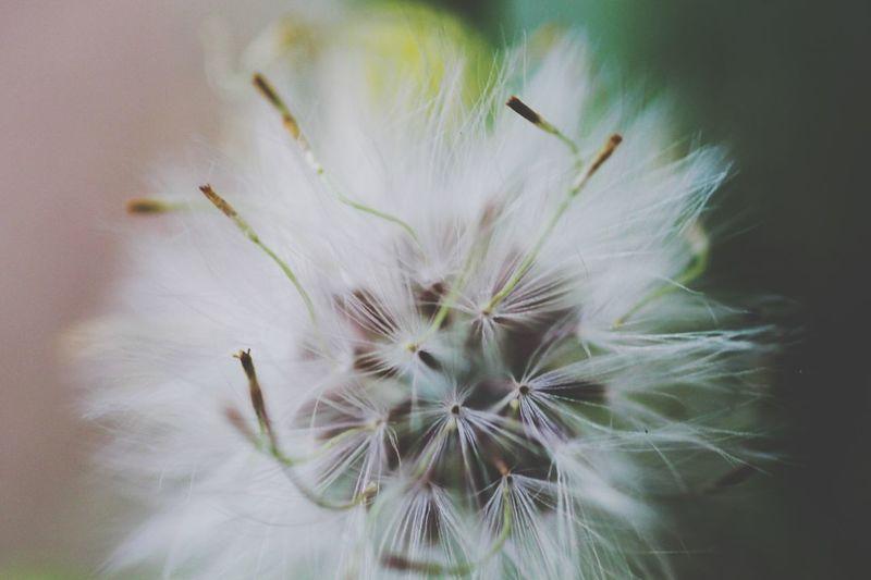 Para el espíritu la felicidad es siempre, para una persona forma parte de algo mágico y efímero. -Francesco Macro Macro Nature Macro Photography Macro World Tiny Dandelion