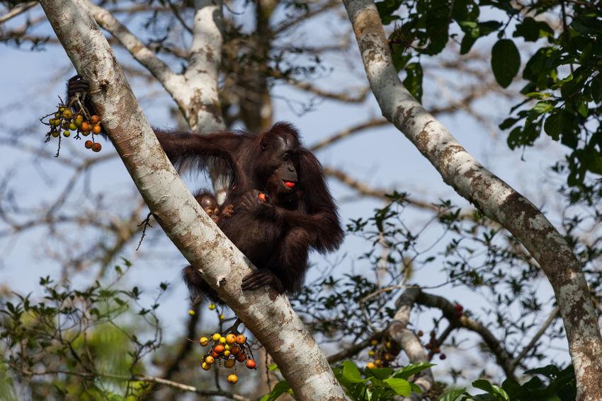 Orang Utan Animals In The Wild Borneo Sabah Borneo Kinabatangan River Endangered Species Primates Fig Tree Canon Eos5d EyeEmNewHere The Great Outdoors - 2017 EyeEm Awards