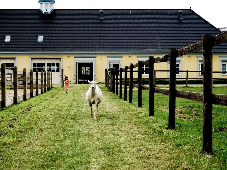 Sheep Animal Themes Domestic Animals Animal Domestic Mammal Pets Architecture Built Structure Livestock Building Exterior Vertebrate Day Barrier Building Nature Field Animal Wildlife