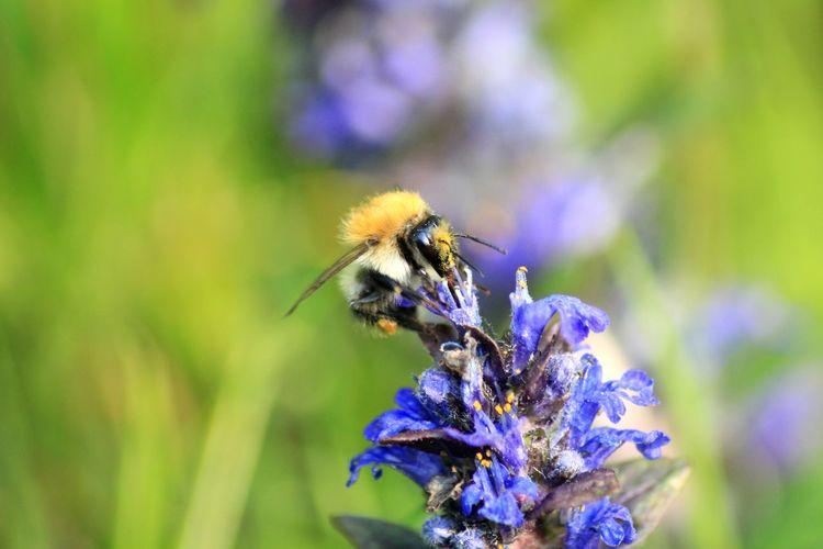 Honeybee Collecting Pollen From Blue Flower