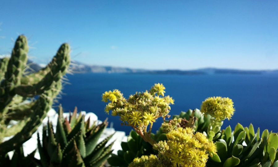 || Nature Theories || Santorini, Greece. TheFoneFanatic Nokia  Nokia808 Vacations Mobilephotography PhonePhotography Bokeh Flower Clear Sky Blue Flower Head Cactus Sky Thorn Spiked
