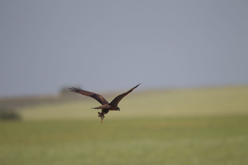 Animals In The Wild Bird Of Prey Bird Photography Black Kite European Birds Kite Milvus Migrans Nature Photography No People Spread Wings Western Palearctic Wildlife & Nature Wildlife Photography