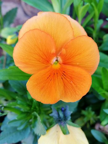 Orange Pansy Wildlife & Nature Beauty In Nature Outdoors Nature EyeEmSelect Green Yellow Blooming EyeEm Selects Pansy Summer Flower Head Flower Orange Color Close-up Plant Plant Life In Bloom Botany Focus