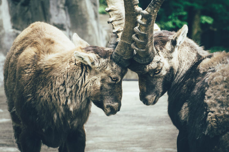 Ibexes Locking Horns