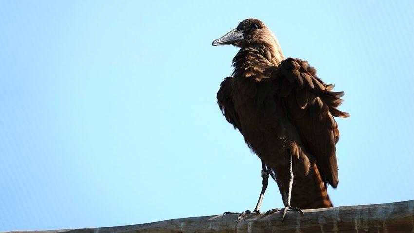 Ornithology  Hamerkop Wading Bird Scopus Umbretta EyeEm Selects Sky Clear Sky Animal Low Angle View Animal Themes Animal Wildlife One Animal Nature Bird Animals In The Wild Copy Space Vertebrate Blue Sunlight Outdoors No People