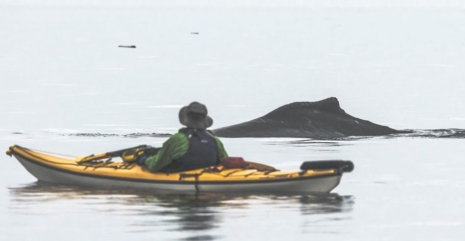 One Person Nautical Vessel Kayak Aquatic Sport One Man Only People Sea Marine Mammals Nature Transportation Kayaking Scenics Humpback Humpback Whale Whale Leisure Activity Kayaker Kayakers Outdoors Beauty In Nature WestCoast Powerful Nature Sport Adventure Nature