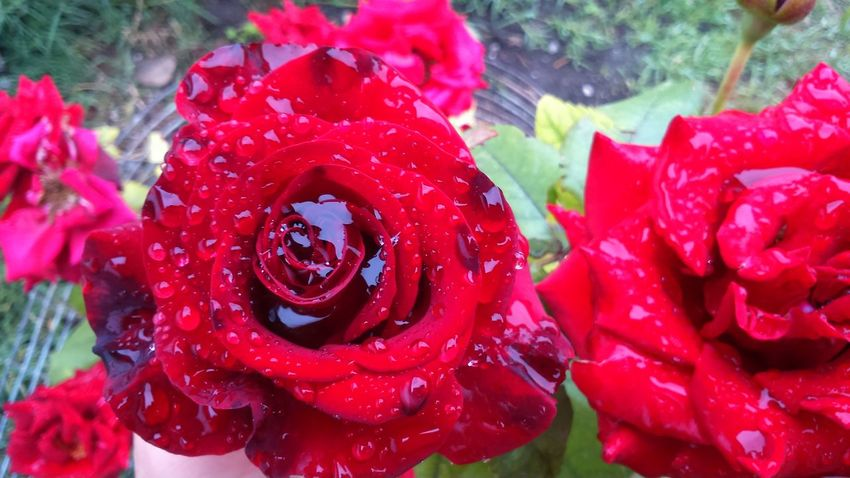 Flower Red Growth Nature Rose - Flower Petal Beauty In Nature
