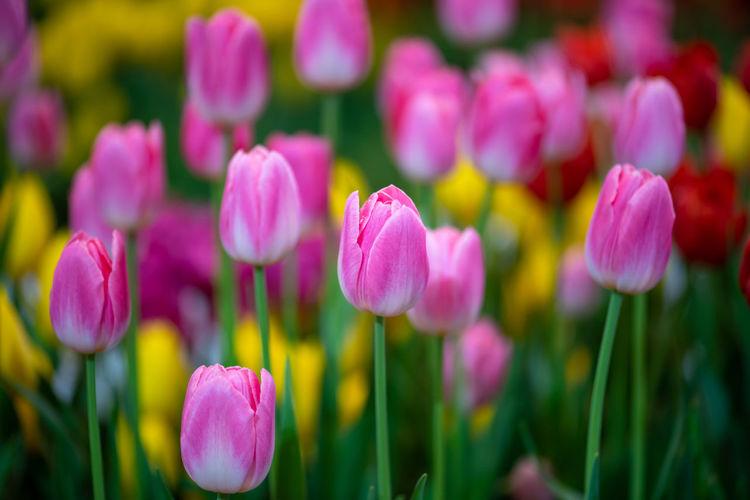 pink tulip ,