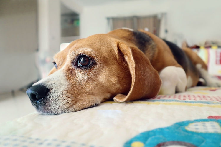 Animal Animal Head  Animal Themes Bed Canine Close-up Dog Domestic Domestic Animals Focus On Foreground Furniture Home Interior Indoors  Looking Looking Away Mammal No People One Animal Pets Profile View Relaxation Vertebrate