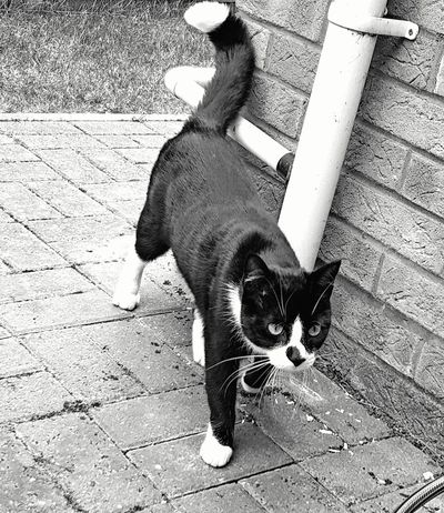 Intruder in the garden; Curious Black And White Cat! At home, in Stowmarket