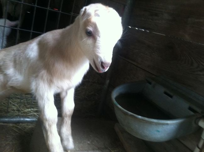 Goats Farm Serenitygoats Farm Life Serenitygoats Baby Goats Goatfarm Goat Life