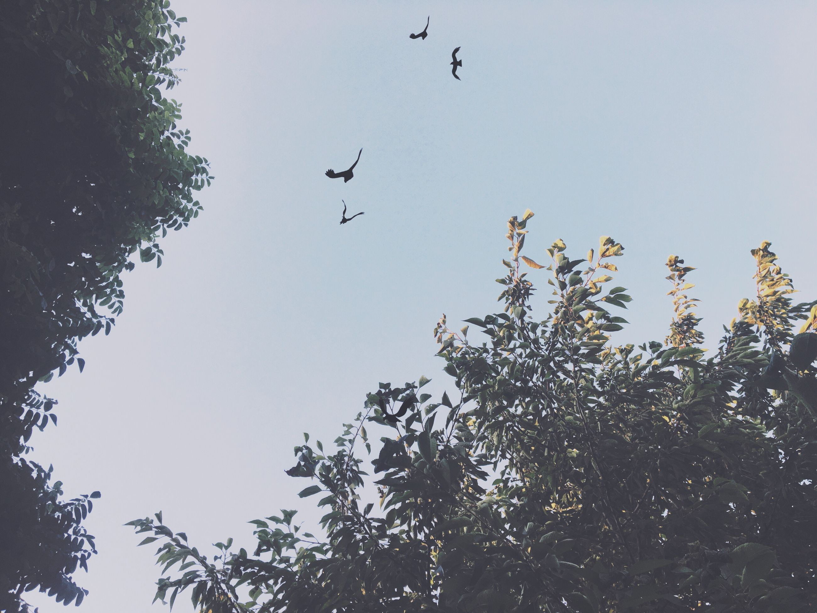 bird, flying, animal themes, animals in the wild, wildlife, low angle view, clear sky, tree, mid-air, spread wings, one animal, flock of birds, copy space, nature, sky, day, branch, outdoors, silhouette