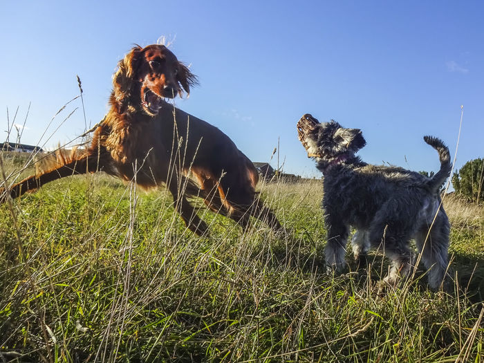 Freya and Rosie enjoying the evening sunshine. Dogs Of EyeEm Dogs Pets Domestic Animals Irishsetter Redsetter Fun Playing Autumn Evening Field Sky Grass