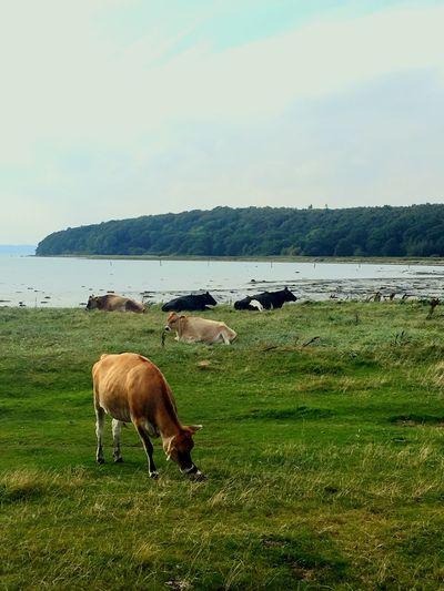Cows Animal