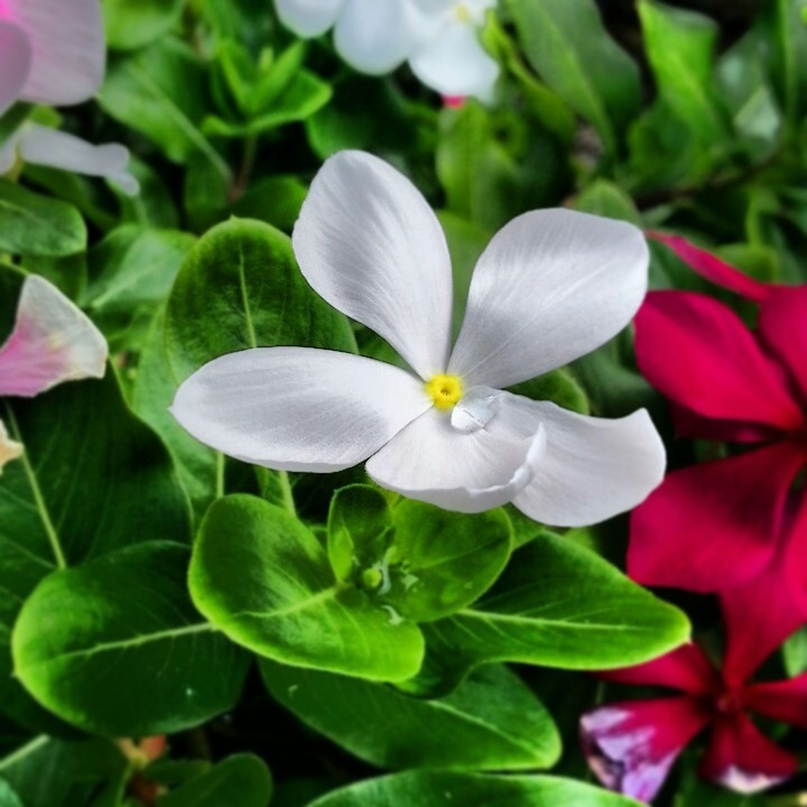 flower, petal, freshness, growth, fragility, flower head, leaf, beauty in nature, blooming, nature, plant, close-up, white color, in bloom, green color, pink color, focus on foreground, high angle view, park - man made space, blossom