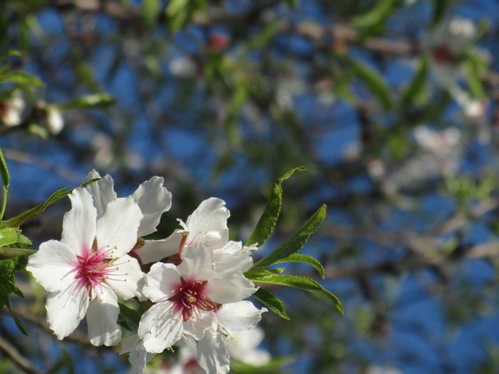 almond tree Almond Blossom Beauty In Nature Bella Italia Flower Fragility Freshness Growth Nature Outdoors Primavera Siciliana Spring Springtime Tree Visit Italy
