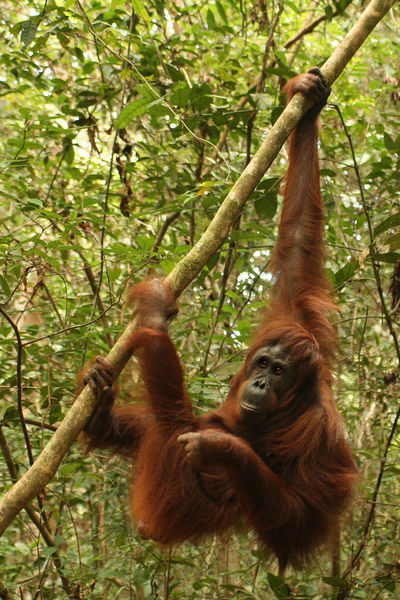 Orangutan is Swinging in the trees in jungle of Indonesia INDONESIA Animal Animal Family Animal Themes Animal Wildlife Animals In The Wild Ape Day Ecological Destruction Environmental Conservation Forest Group Of Animals Hanging Jungle Land Mammal Monkey Nature No People Orang Utan On Tree Orangutan Outdoors Plant Primate Rainforest Tree Tropical Rainforest Two Animals Vertebrate