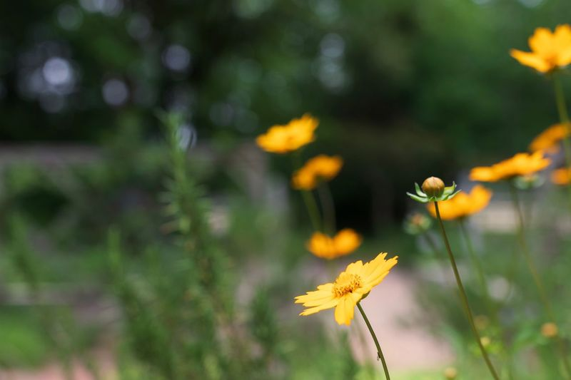 Yellow North Carolina Morganinspired Flowers Backgrounds Outdoors Flower Plant Flowering Plant Growth Fragility Freshness Beauty In Nature Vulnerability  No People Focus On Foreground Outdoors Flower Head Inflorescence Day Plant Stem Botany Close-up Yellow Nature Petal