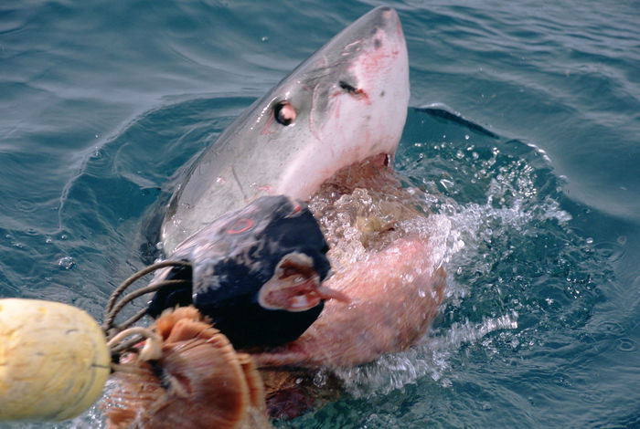 Africa Africa Wildlife Agnus Bay Cage Diving Nature_collection South Africa White Shark White Shark Biting