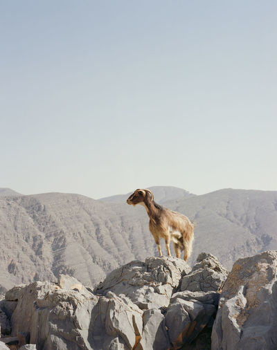 Clear Sky Goat Travel Adventure Animal Clear Go Higher Mountain Sky