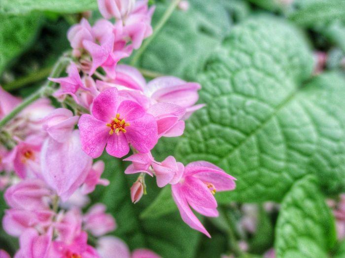 พวงชมพู Coral Vine พวงชมพู Rose Pink Vine Flower Head Flower Zinnia  Pink Color Petal Springtime Pollen Close-up Blooming Plant