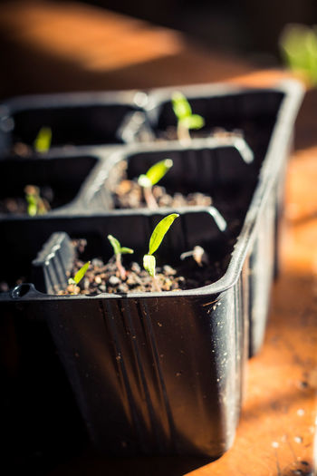 Close-Up Of Seedlings In Tray On Table