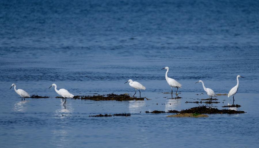 Egrets Animals