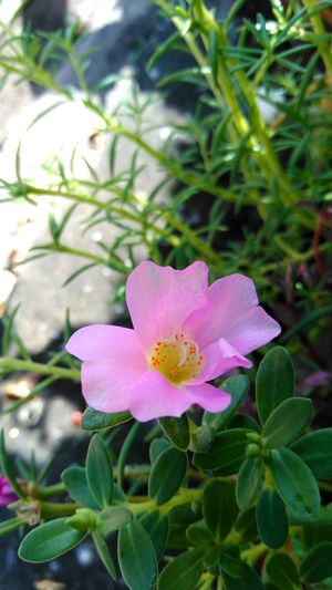 Pink Color Flower Plant Leaf Petal Flower Head Nature Outdoors No People Day Close-up Beauty In Nature Fragility Freshness Pink Flower Collection Pink Flowers In Bloom Garden Plants Flower Collection Flowers, Nature And Beauty Flower Photography Flowers,Plants & Garden Beauty In Nature Plant Nature Pink Flower
