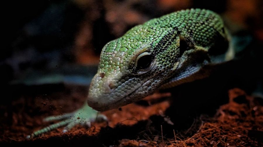 Animal Wildlife Animals In The Wild Reptile Vertebrate Close-up Lizard Animal Head  Nature Animal Scale Green Color Animal Eye EyeEmNewHere The Modern Professional