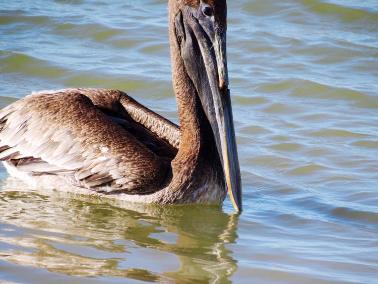 Bird Photography Birdwatching Pelican Injuredbird Beak Check This Out Hanging Out Relaxing Taking Photos Enjoying Life Rockport Texas Waterfront Water Water_collection Pelicans