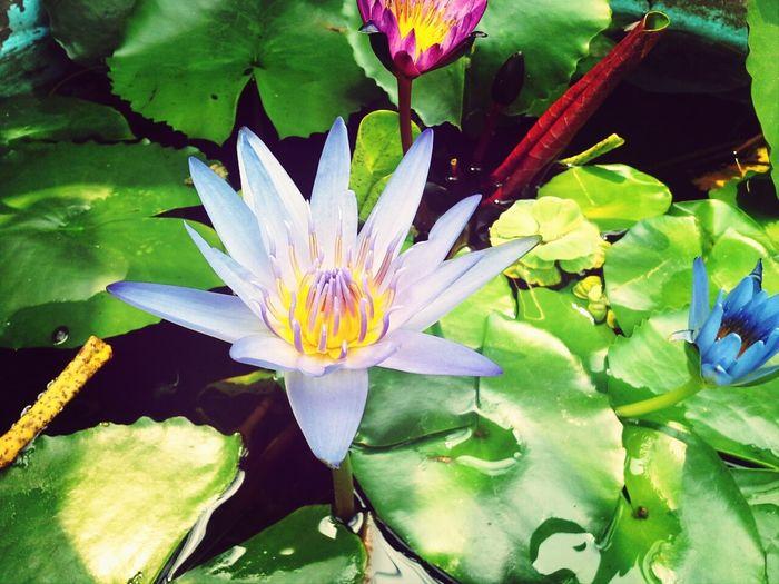 Lotus..